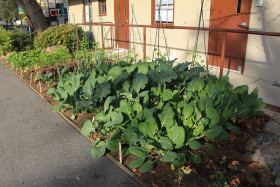 The gardening club grows beautiful vegetables.